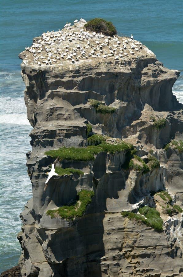 Colonie de fou de Bassan de Muriwai - Nouvelle-Zélande photographie stock