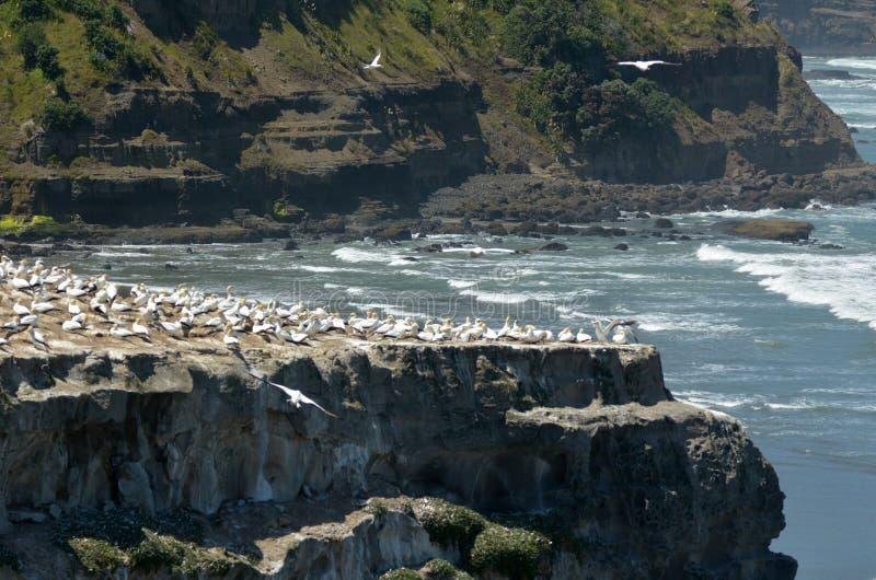 Colonie de fou de Bassan de Muriwai - Nouvelle-Zélande images stock