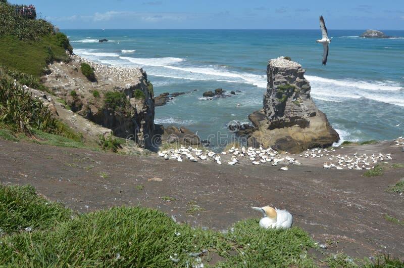 Colonie de fou de Bassan de Muriwai - Nouvelle-Zélande photo libre de droits