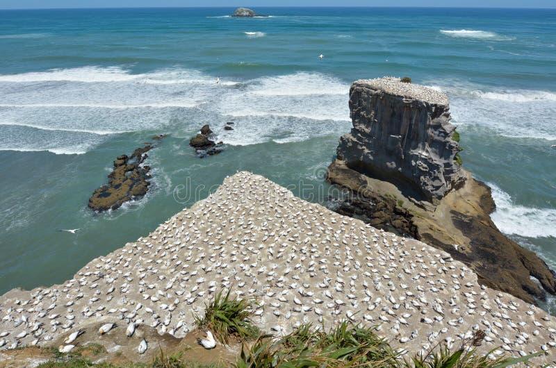 Colonie de fou de Bassan de Muriwai - Nouvelle-Zélande photo stock