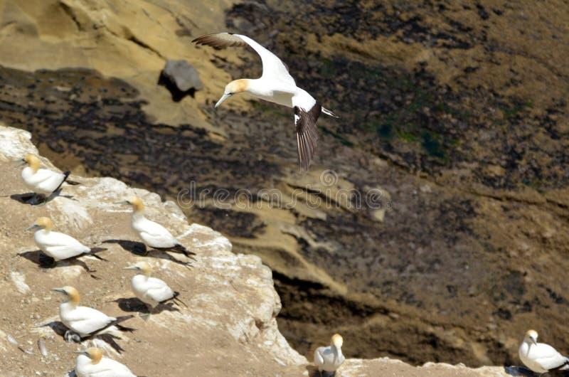 Colonie de fou de Bassan de Muriwai - Nouvelle-Zélande photos libres de droits