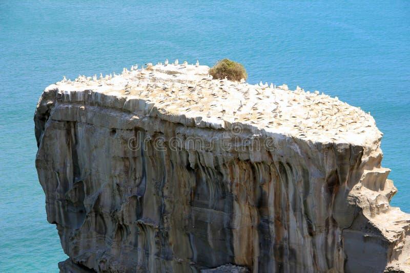 Colonie de fou de Bassan sur le point d'Otakamiro, plage de Muriwai, Nouvelle-Zélande, Auckland image libre de droits