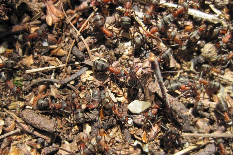 Colonie de fourmi photo stock