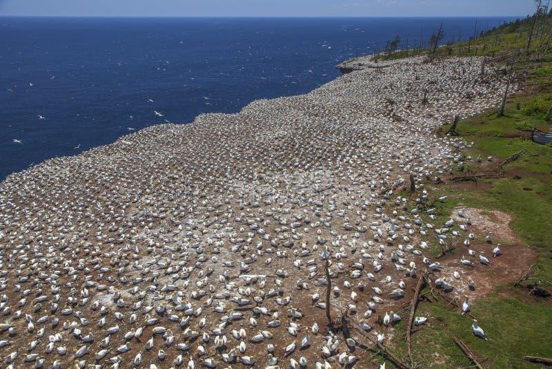 Colonie de freux du nord de fous de Bassan sur Bonaventure Island photos stock
