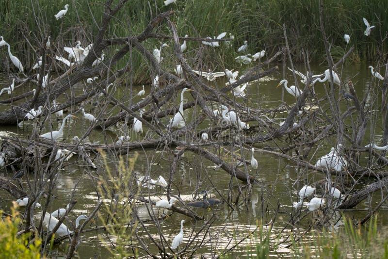 Colonie de freux de héron et de héron, réserve d'île de Pickney, la Caroline du Sud photos libres de droits