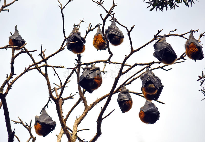 Colonie de Grey Headed Flying Foxes photographie stock