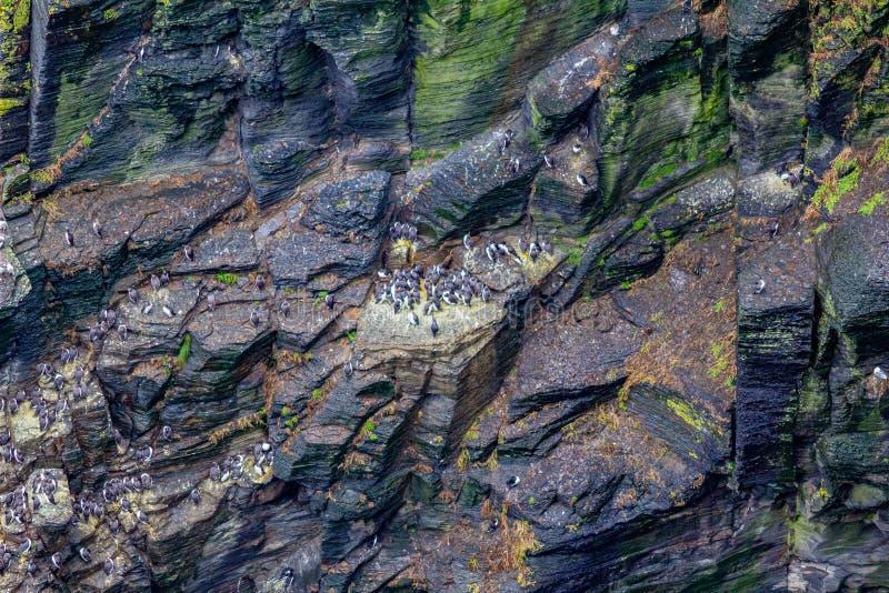Colonie de guillemot commun ou d'oiseaux communs de Murre le long de l'itinéraire côtier de promenade photographie stock