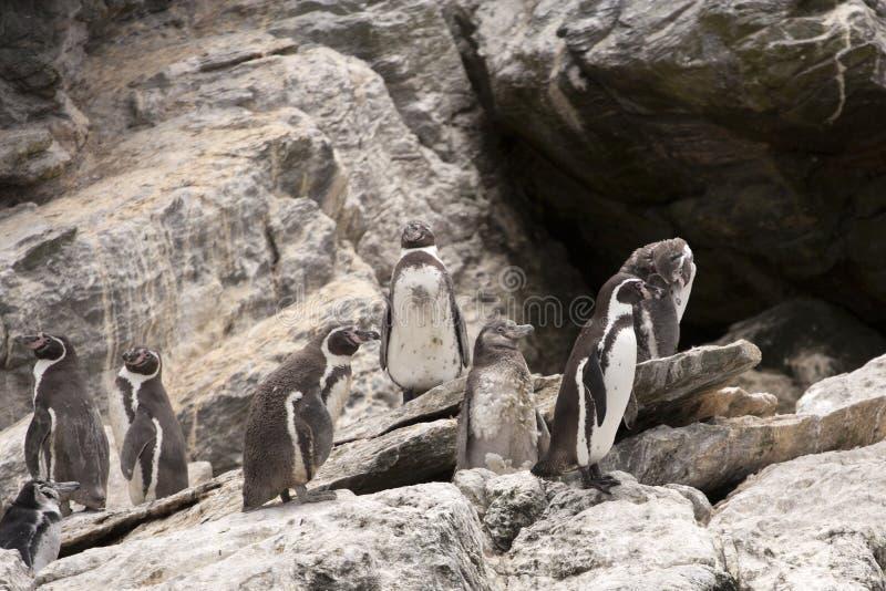 Colonie de Humboldt de pingouin image libre de droits