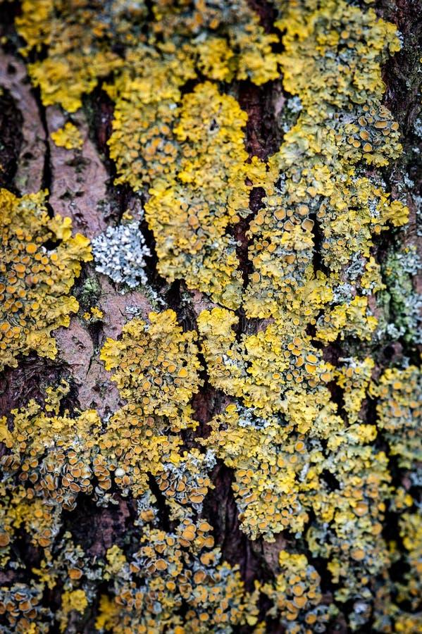 Colonie de lichen photo stock