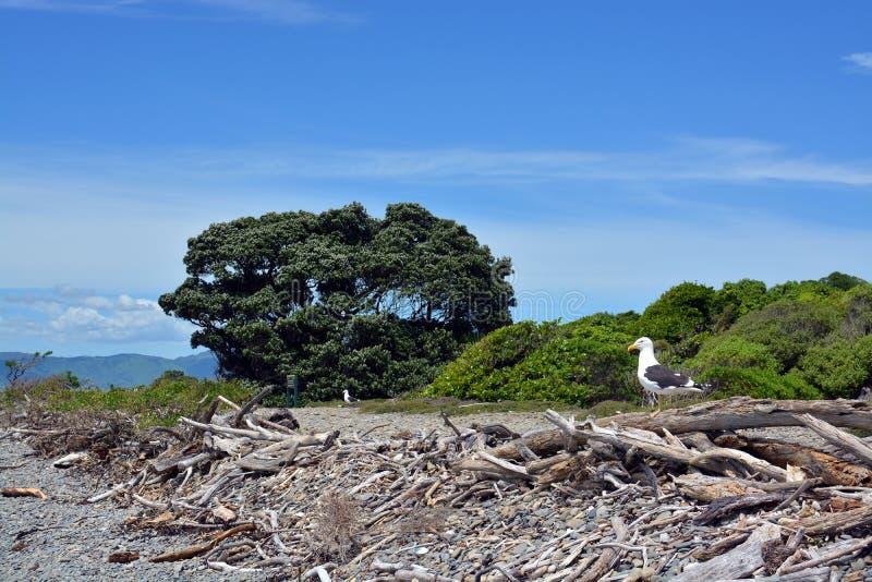 Colonie de mouette soutenue par noir sur la réserve d'oiseaux d'île de Kapiti photographie stock