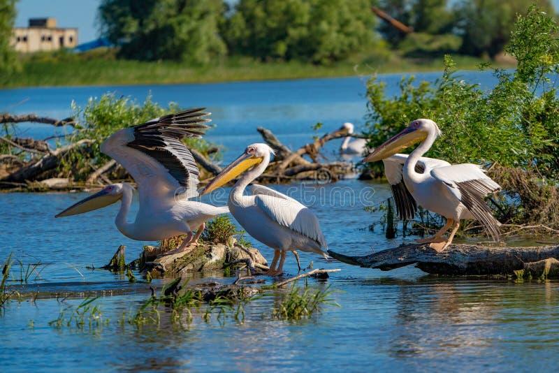 Colonie de pélican sur le lac fortuna dans le delta de Danube photos libres de droits
