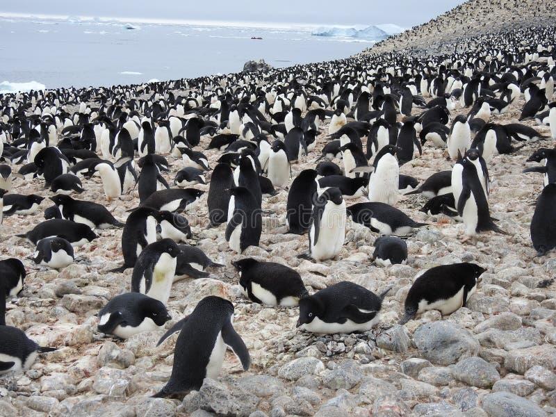 Colonie de pingouin d'Adelie images libres de droits