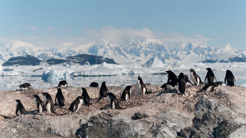 Colonie de pingouin d'Adelie d'emboîtement, îles de Yalour, péninsule antarctique images stock