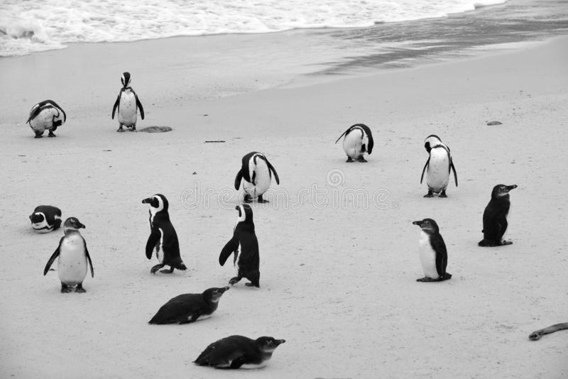 Colonie de pingouin images libres de droits