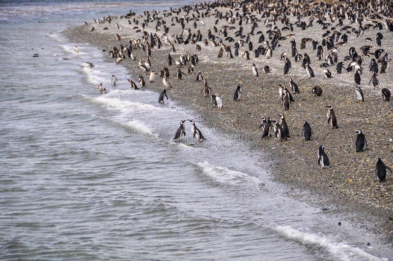 Colonie de pingouin, la Manche de briquet, Ushuaia, Argentine image libre de droits