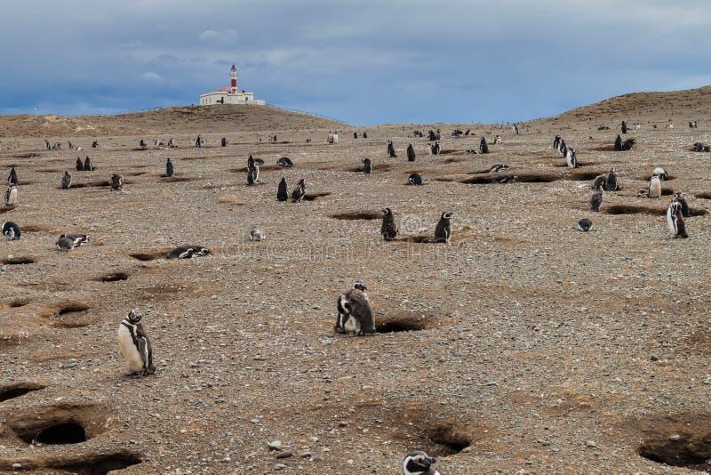 Colonie de pingouin sur l'île d'Isla Magdalena photographie stock libre de droits