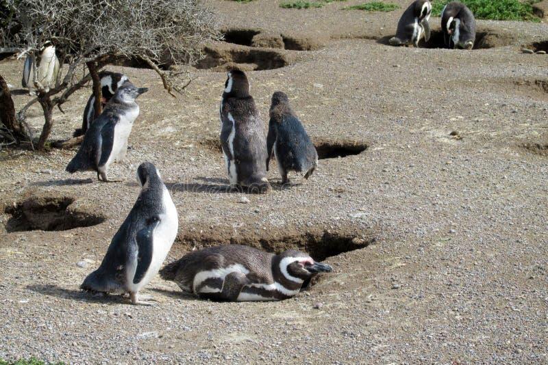 Colonie de pingouins de Magelan photos stock