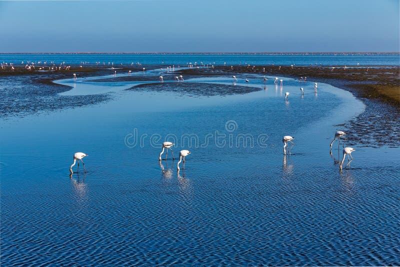 Colonie de Rosy Flamingo dans la baie faune de Namibie, Afrique de Walvis image stock