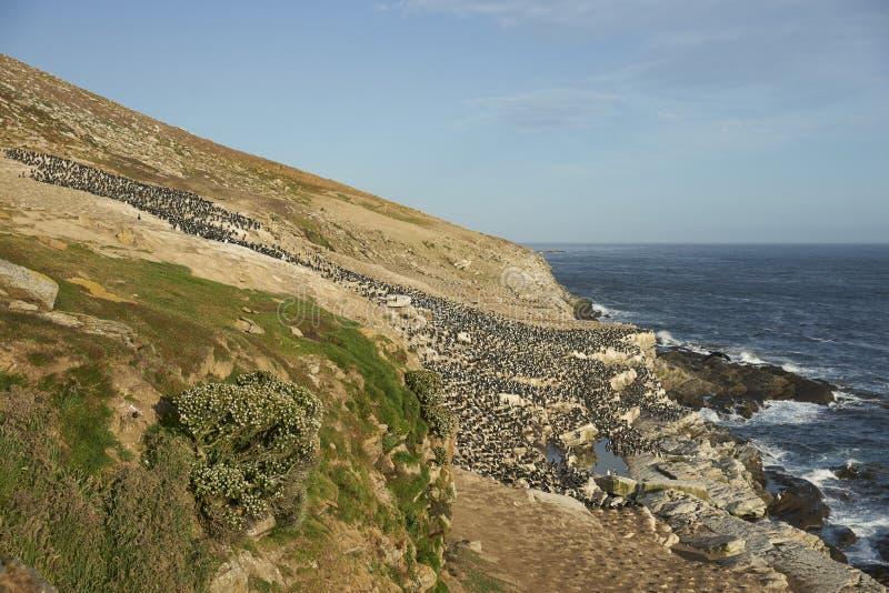 Colonie de tapis à longs poils impériale d'île de carcasse dans les Malouines photo libre de droits
