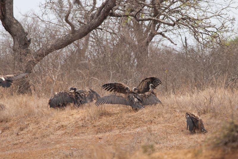 Colonie de vautour photographie stock