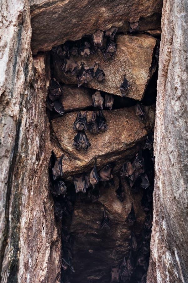 Colonie des battes accrochant sur le mur de caverne image stock