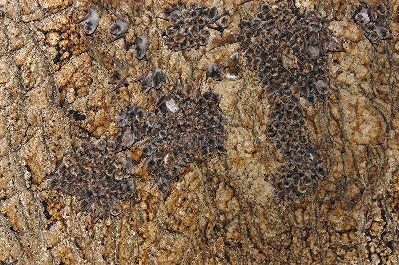 Colonie des battes dans une caverne photo libre de droits
