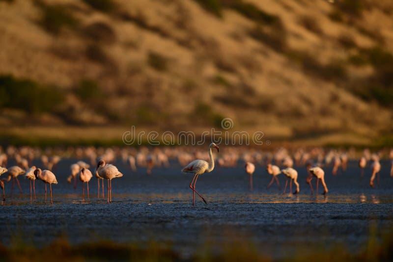 Colonie des flamants sur le lac Natron Nom de Lesser Flamingo Scientific : Mineur de Phoenicoparrus La Tanzanie Afrique image libre de droits