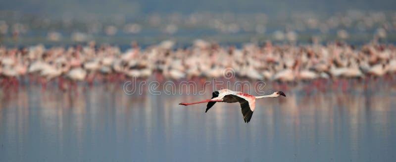 Colonie des flamants sur le lac Natron Nom de Lesser Flamingo Scientific : Mineur de Phoenicoparrus La Tanzanie Afrique photos libres de droits
