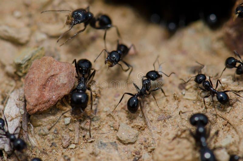Colonie des fourmis photographie stock