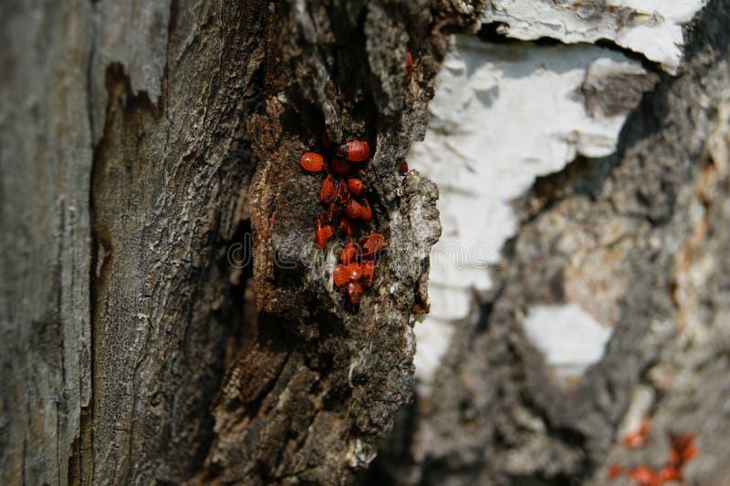 Colonie des insectes sur l'écorce de bouleau il y a un petit univers images stock