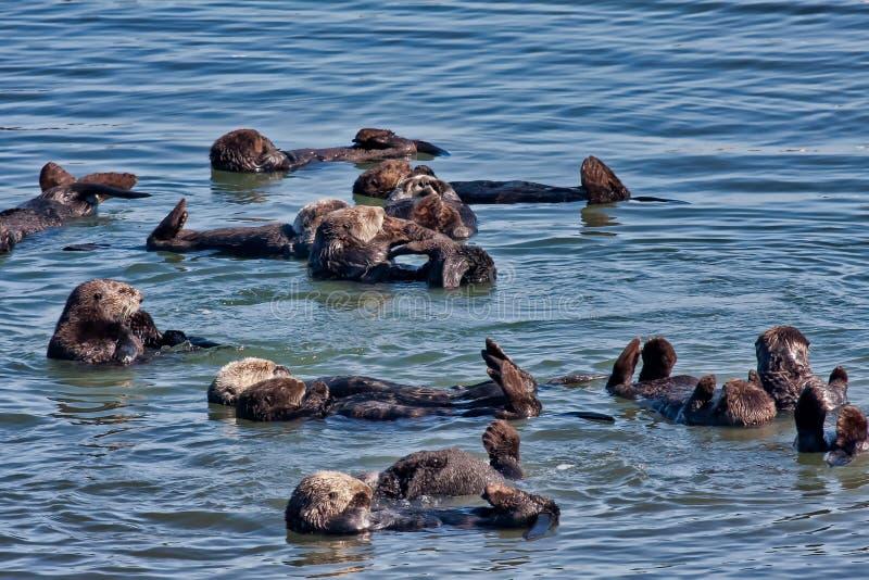 Colonie des loutres de mer dans Elkhorn Sleugh dans Monterey, CA photographie stock libre de droits