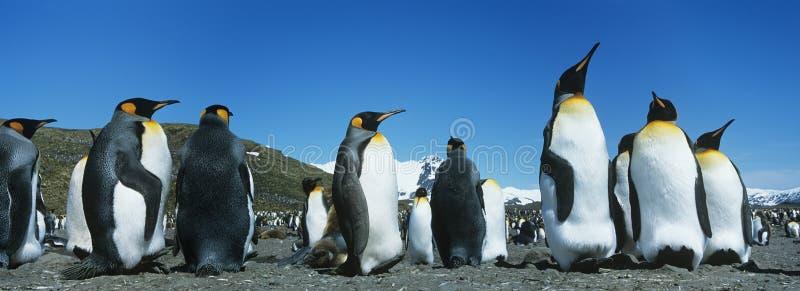 Colonie des pingouins image libre de droits