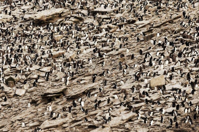 Colonie des pingouins du sud de Rockhopper d'en haut photos libres de droits