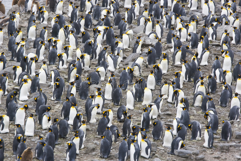Colonie du Roi pingouin photos stock