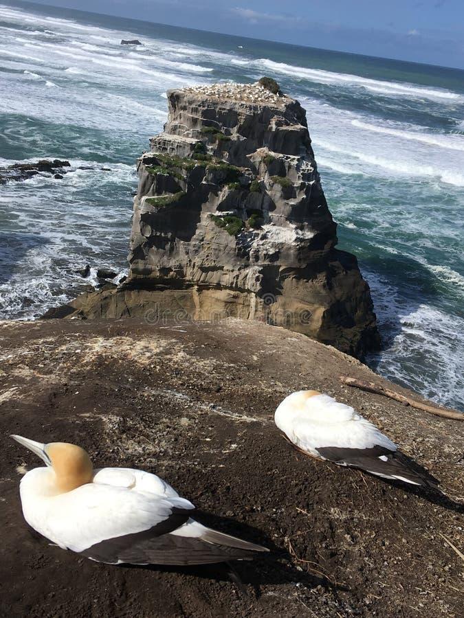 Colonie Nouvelle-Zélande de fou de Bassan de Muriwai photo stock