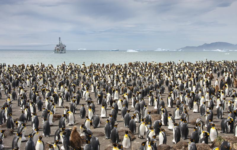 Colonie penguing de roi en Géorgie du sud photo libre de droits