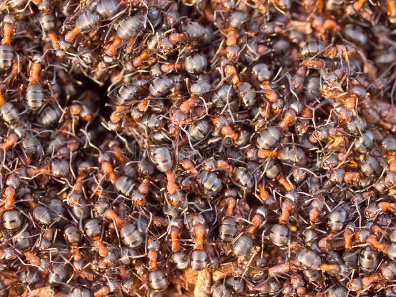 Colonie rouge de fourmi photos libres de droits