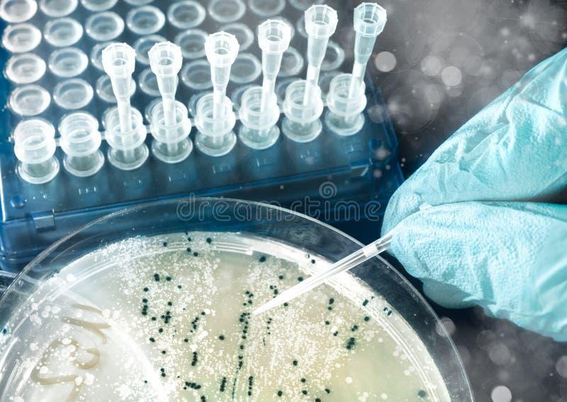 Colonies bactériennes de plat d'agar photo stock
