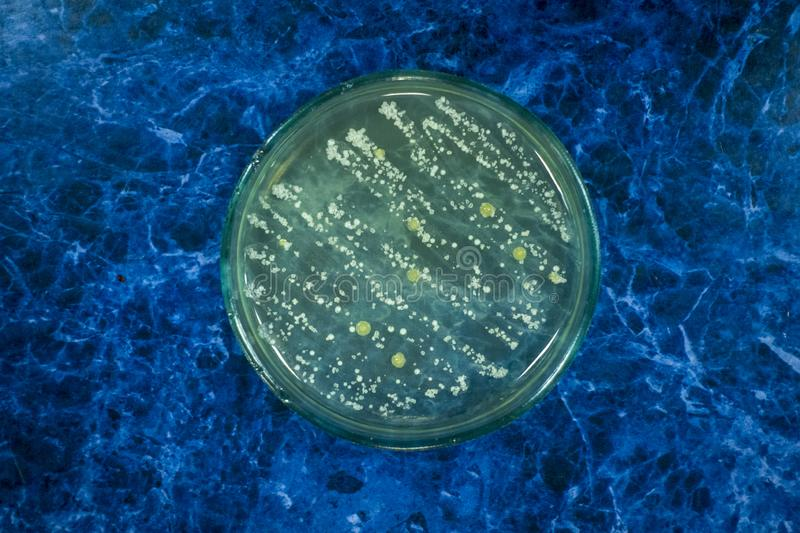 Colonies of bacteria on a petri dish. Cocci, bacilli stock image