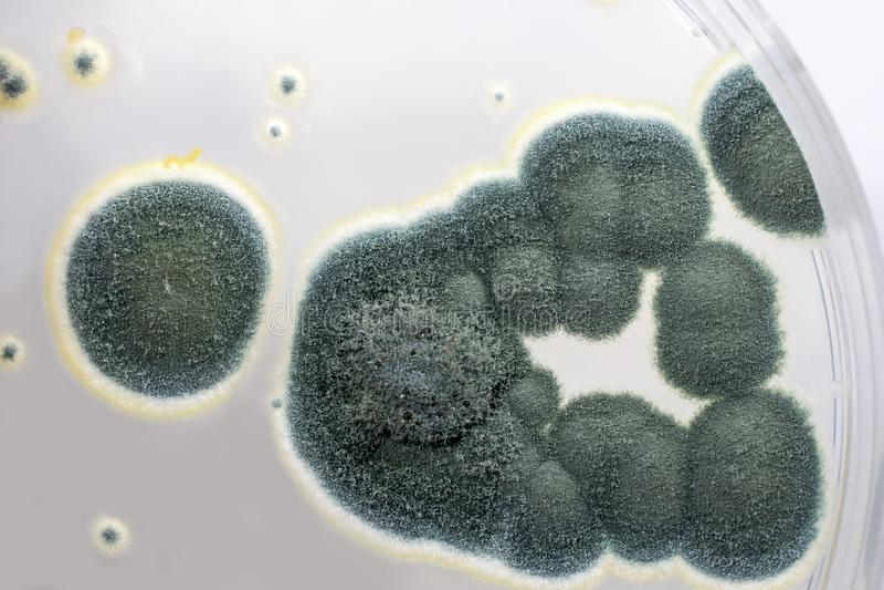 Colonies des champignons de penicillium sur l'agar de dextrose de Sabouraud image libre de droits