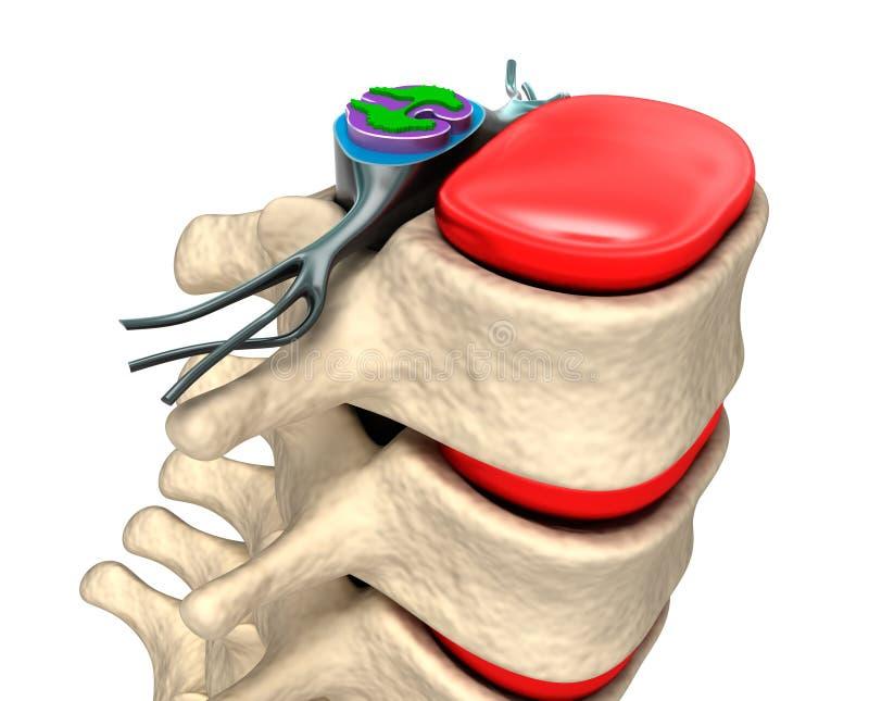 Colonna vertebrale con i nervi ed i dischi. illustrazione vettoriale