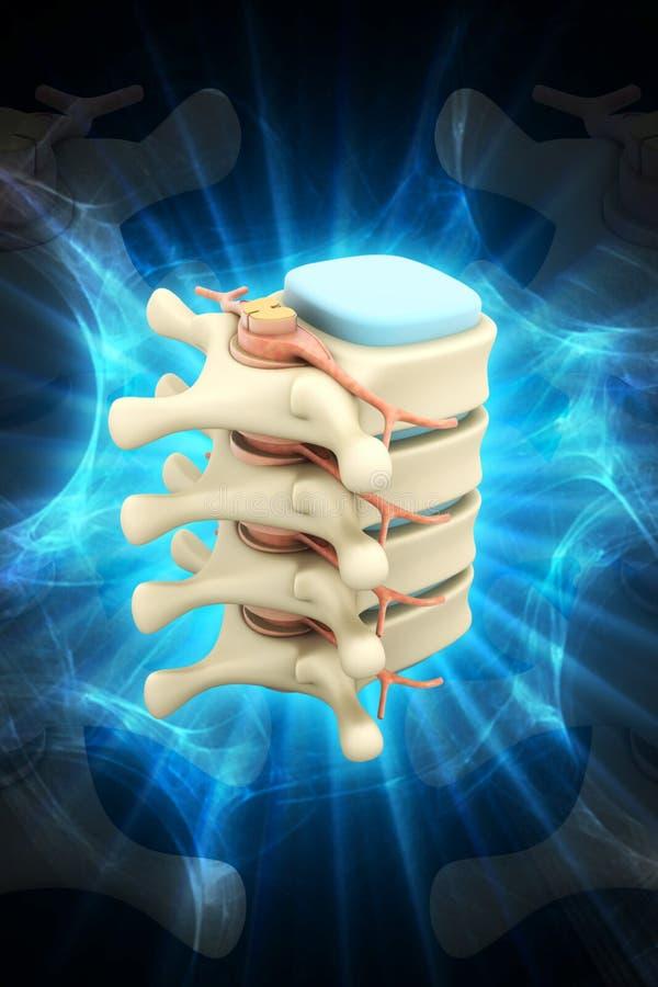 Colonna vertebrale con i nervi ed i dischi illustrazione vettoriale