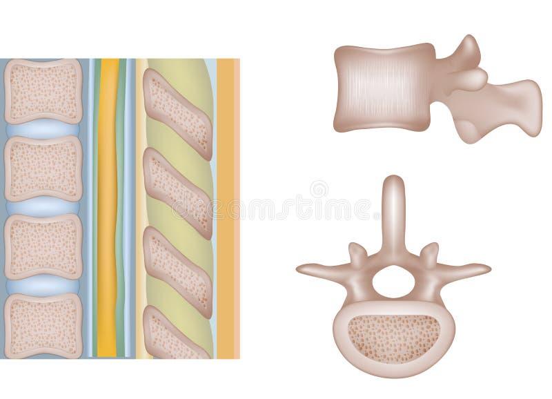 Colonna vertebrale umana illustrazione di stock