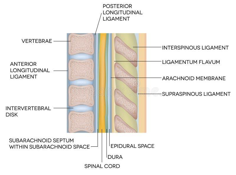 Colonna vertebrale umana con la descrizione illustrazione di stock