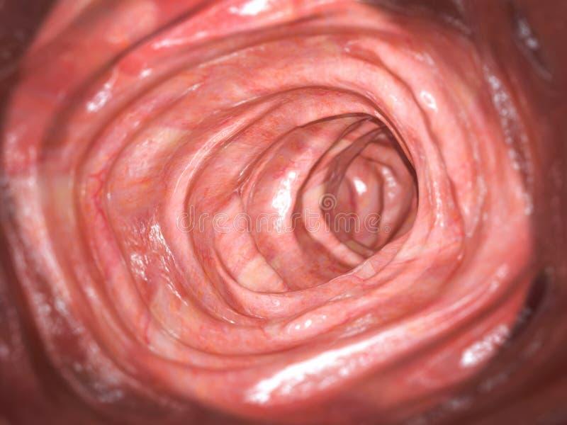 Colonoscopia Dentro dei due punti sani, intestino crasso Sistema digestivo umano royalty illustrazione gratis
