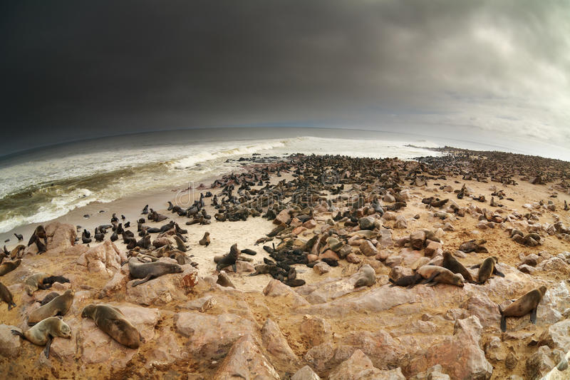 Download Colony of atlantic seals stock photo. Image of cliff - 13532776