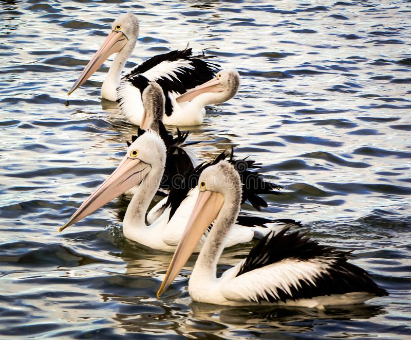 A colony of australian pelican. A group of pelicans going to the shore for feeding