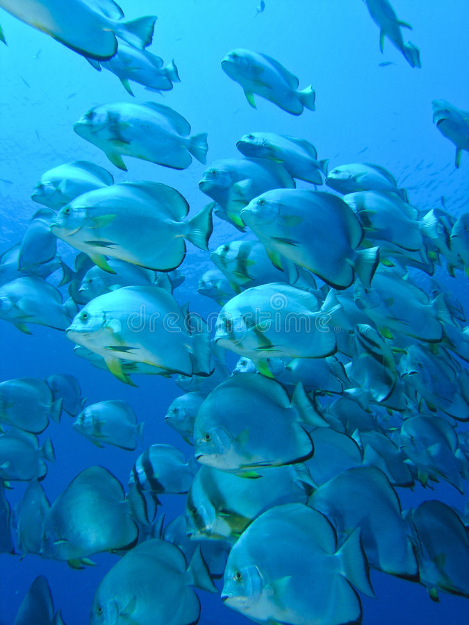 Colony of Bat fish royalty free stock images