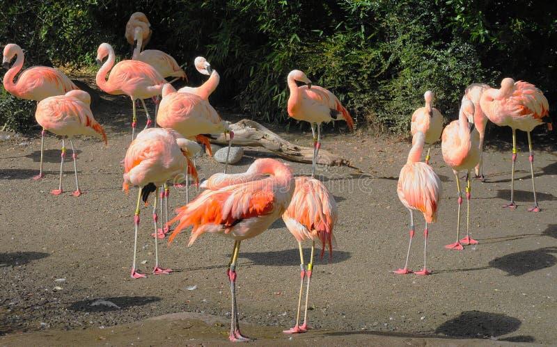 Colony of beautiful pink flamingos. stock image