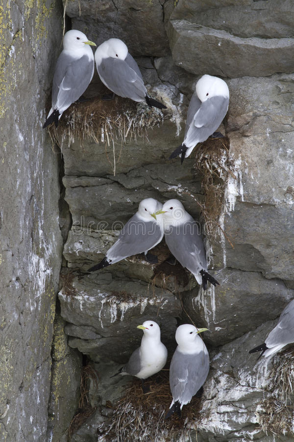 The colony of black-legged kittiwake on the steep cliffs stock photos